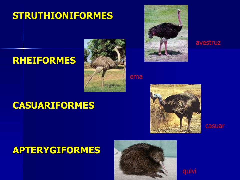STRUTHIONIFORMES RHEIFORMES CASUARIFORMES APTERYGIFORMES