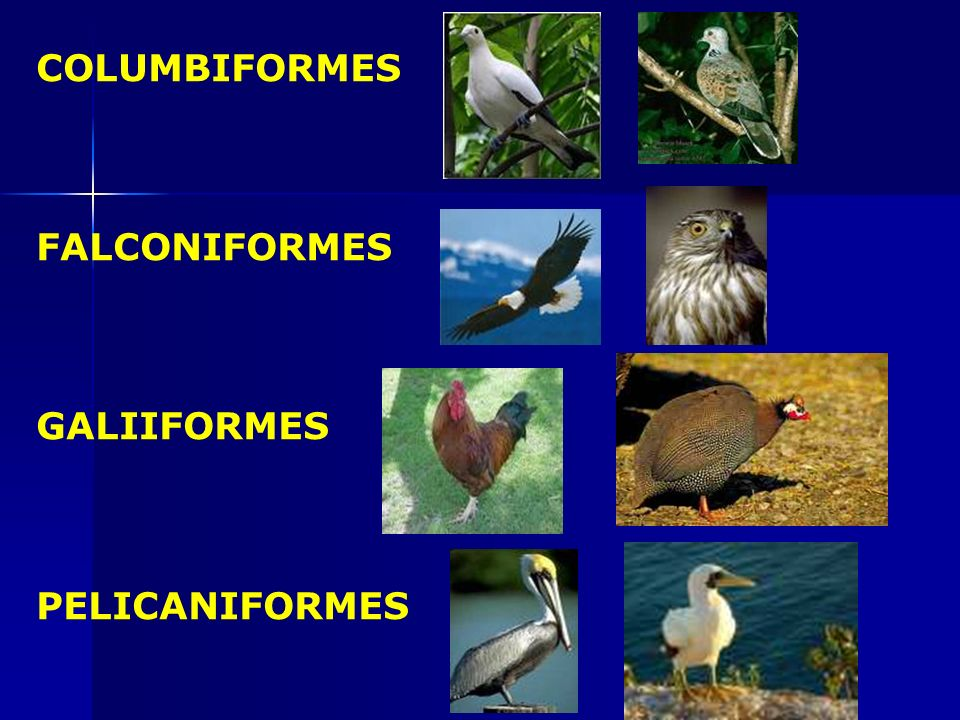 COLUMBIFORMES FALCONIFORMES GALIIFORMES PELICANIFORMES