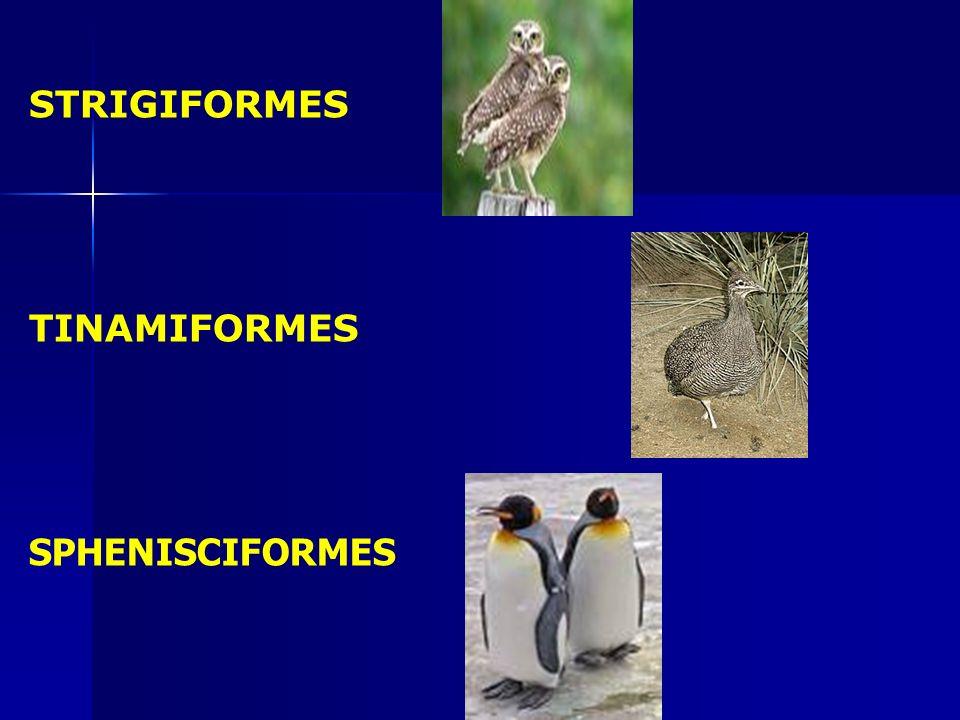 STRIGIFORMES TINAMIFORMES SPHENISCIFORMES