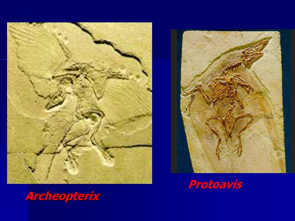 Protoavis Archeopterix