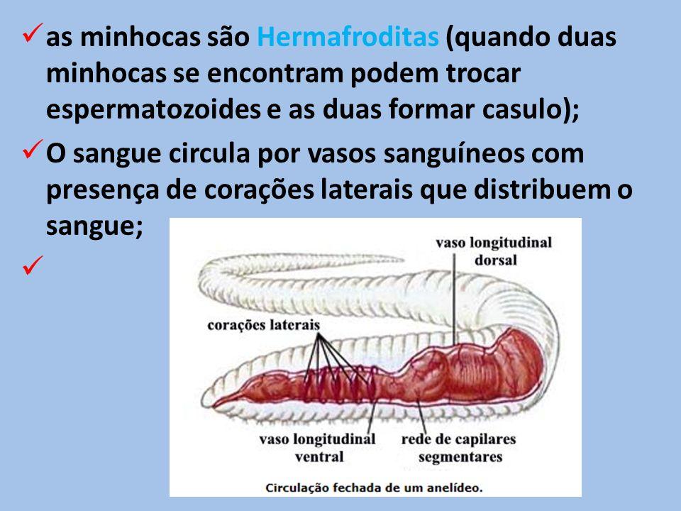 as minhocas são Hermafroditas (quando duas minhocas se encontram podem trocar espermatozoides e as duas formar casulo);