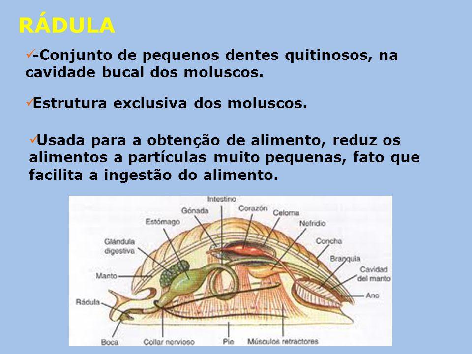 RÁDULA -Conjunto de pequenos dentes quitinosos, na cavidade bucal dos moluscos. Estrutura exclusiva dos moluscos.