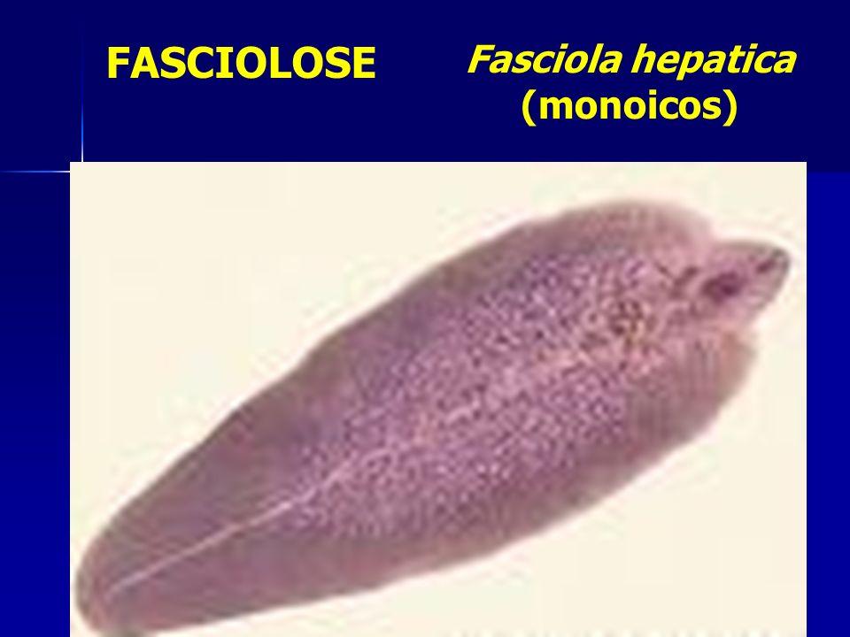 FASCIOLOSE Fasciola hepatica (monoicos)