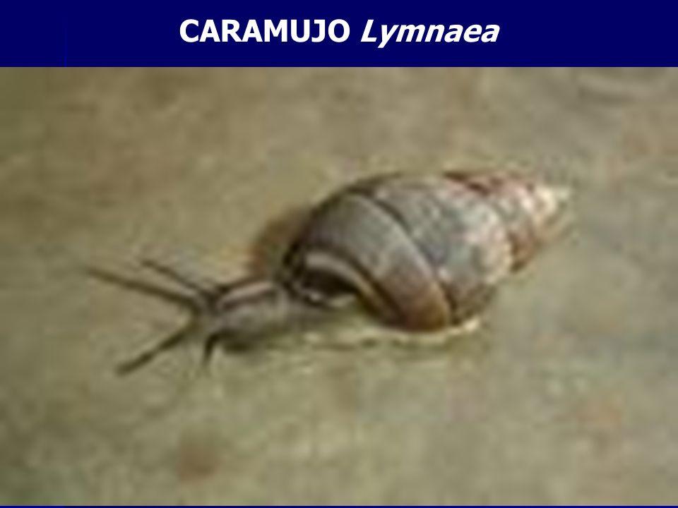 CARAMUJO Lymnaea