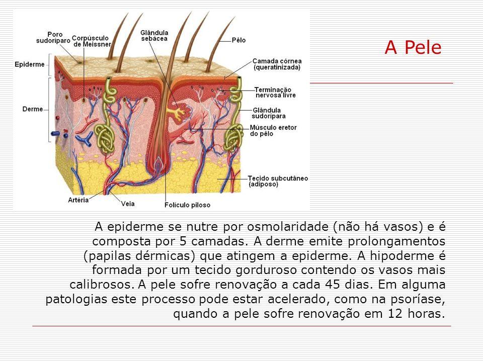 A Pele A epiderme se nutre por osmolaridade (não há vasos) e é