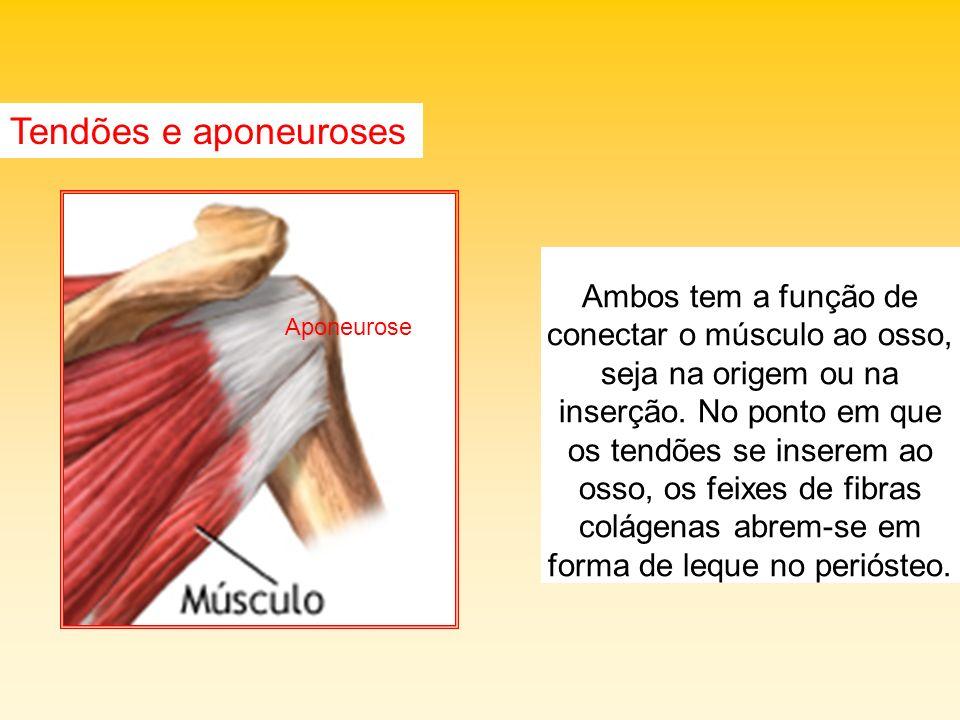 Tendões e aponeuroses