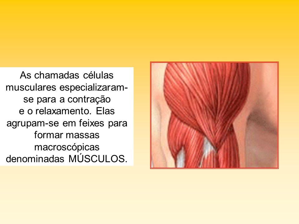As chamadas células musculares especializaram-se para a contração