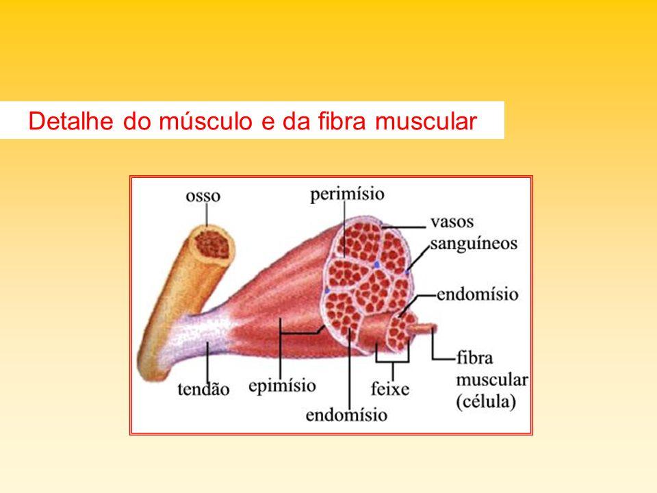 Detalhe do músculo e da fibra muscular