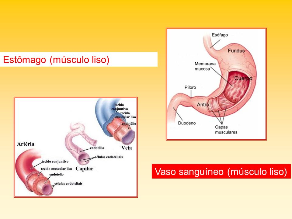 Estômago (músculo liso)