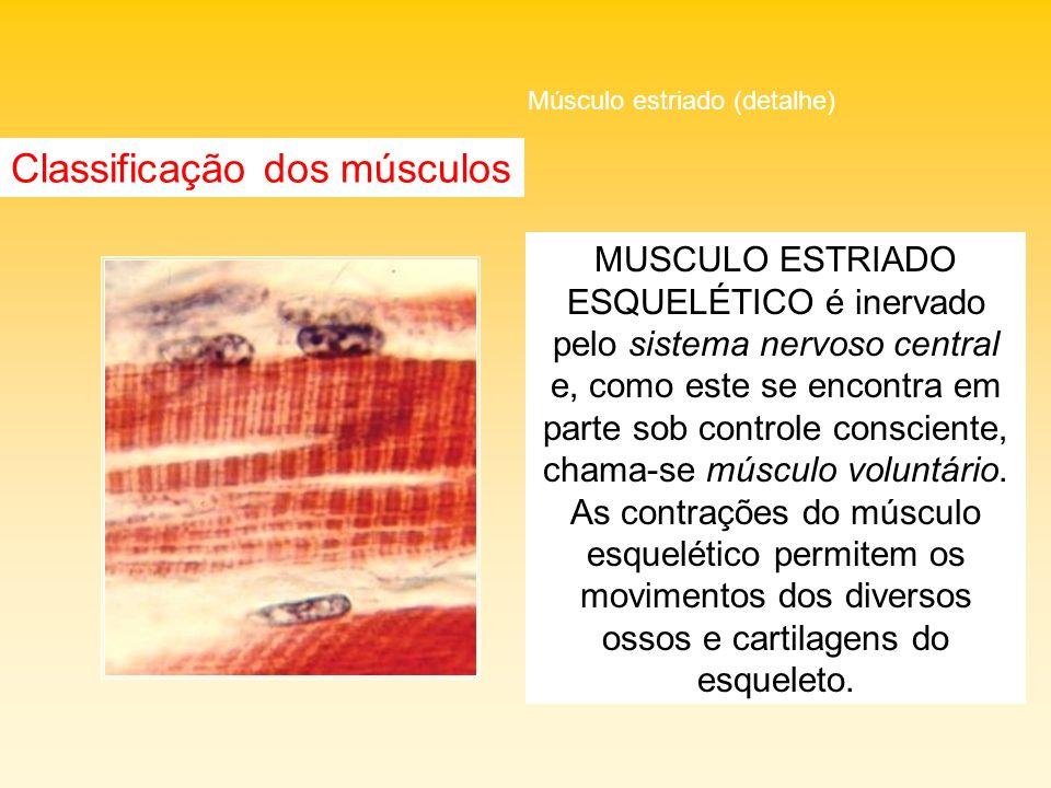 Classificação dos músculos