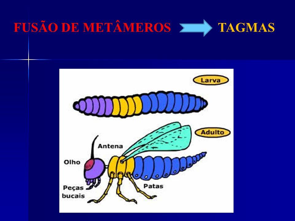 FUSÃO DE METÂMEROS TAGMAS