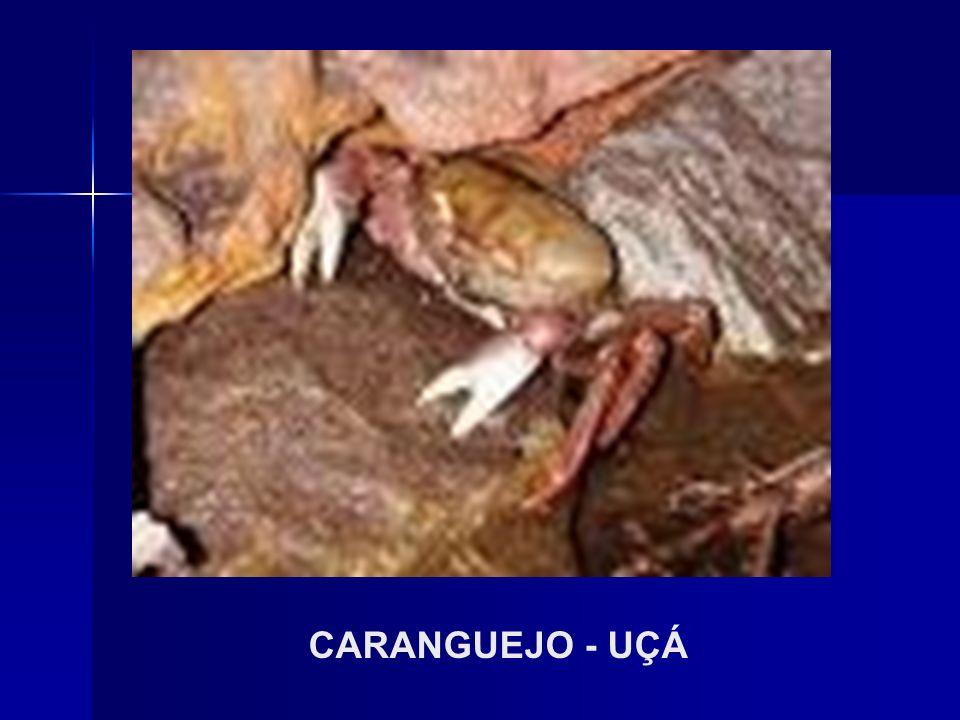CARANGUEJO - UÇÁ