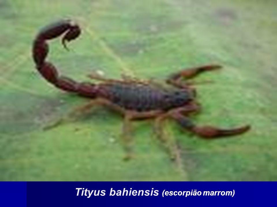 Tityus bahiensis (escorpião marrom)