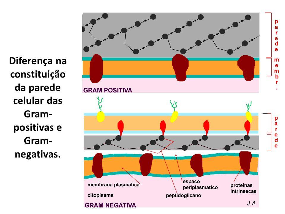 Diferença na constituição da parede celular das Gram-positivas e Gram-negativas.