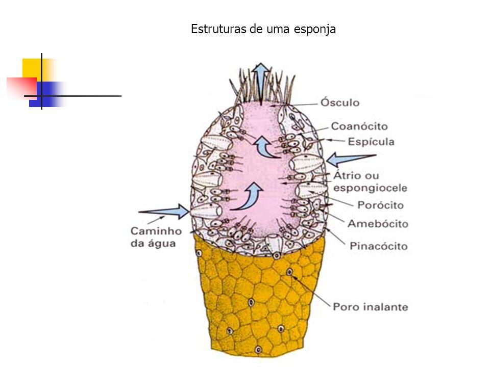 Estruturas de uma esponja