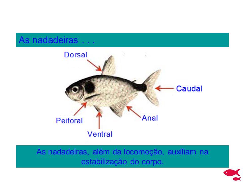 As nadadeiras, além da locomoção, auxiliam na estabilização do corpo.