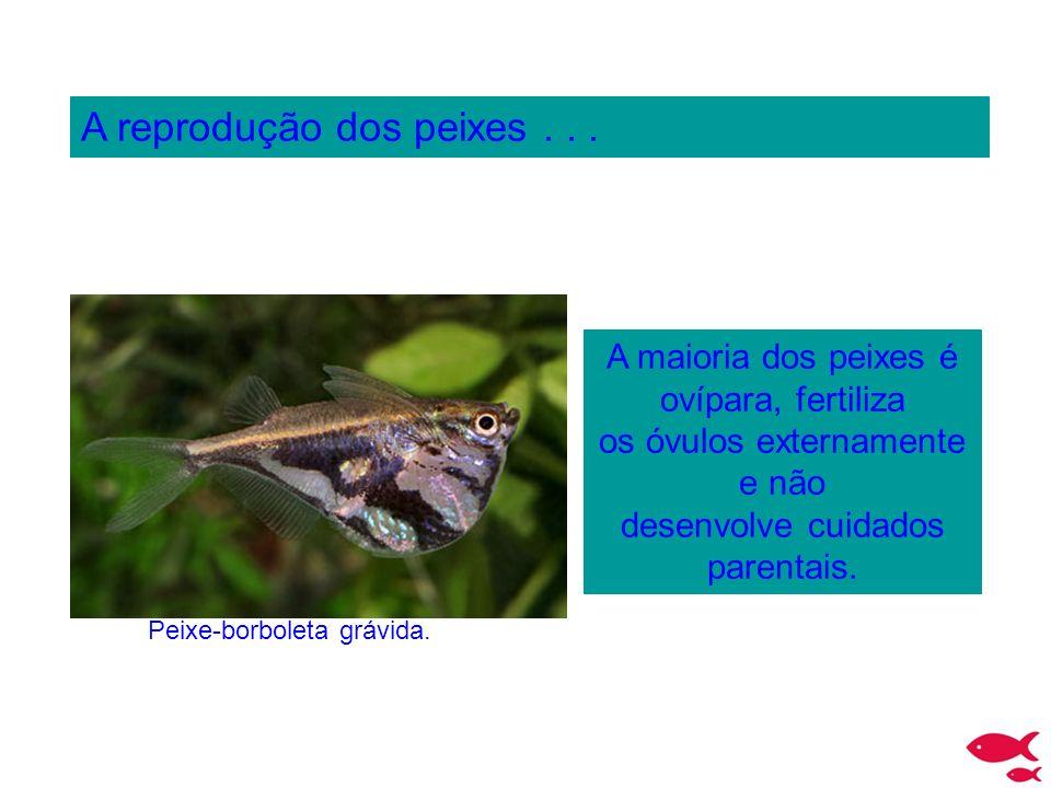 Peixe-borboleta grávida.