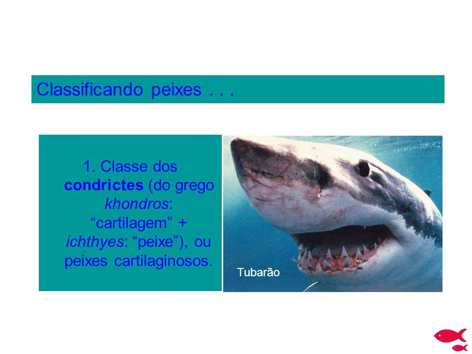 Classificando peixes . . . Classe dos condrictes (do grego khondros: cartilagem + ichthyes: peixe ), ou peixes cartilaginosos.