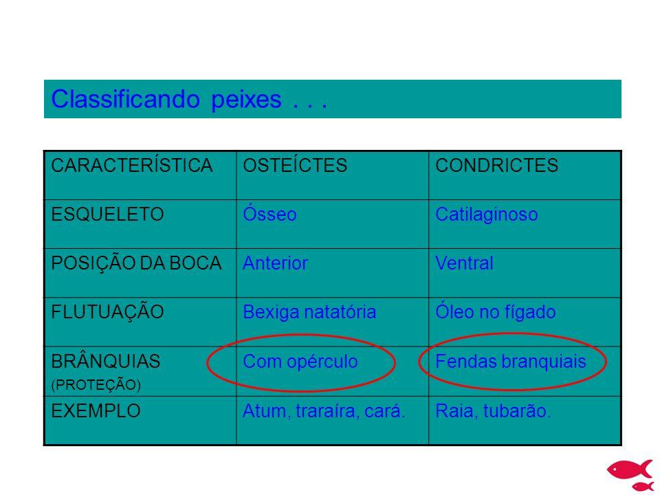 Classificando peixes . . . CARACTERÍSTICA OSTEÍCTES CONDRICTES