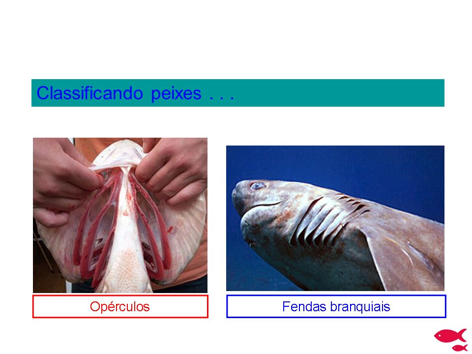 Classificando peixes . . .