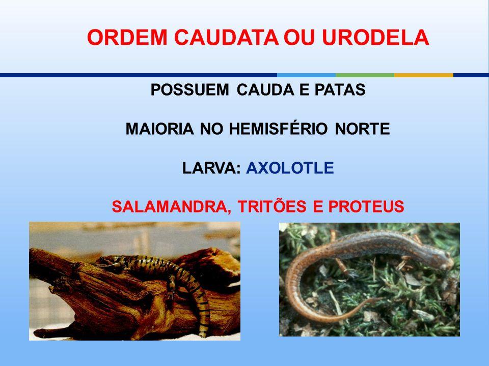 ORDEM CAUDATA OU URODELA