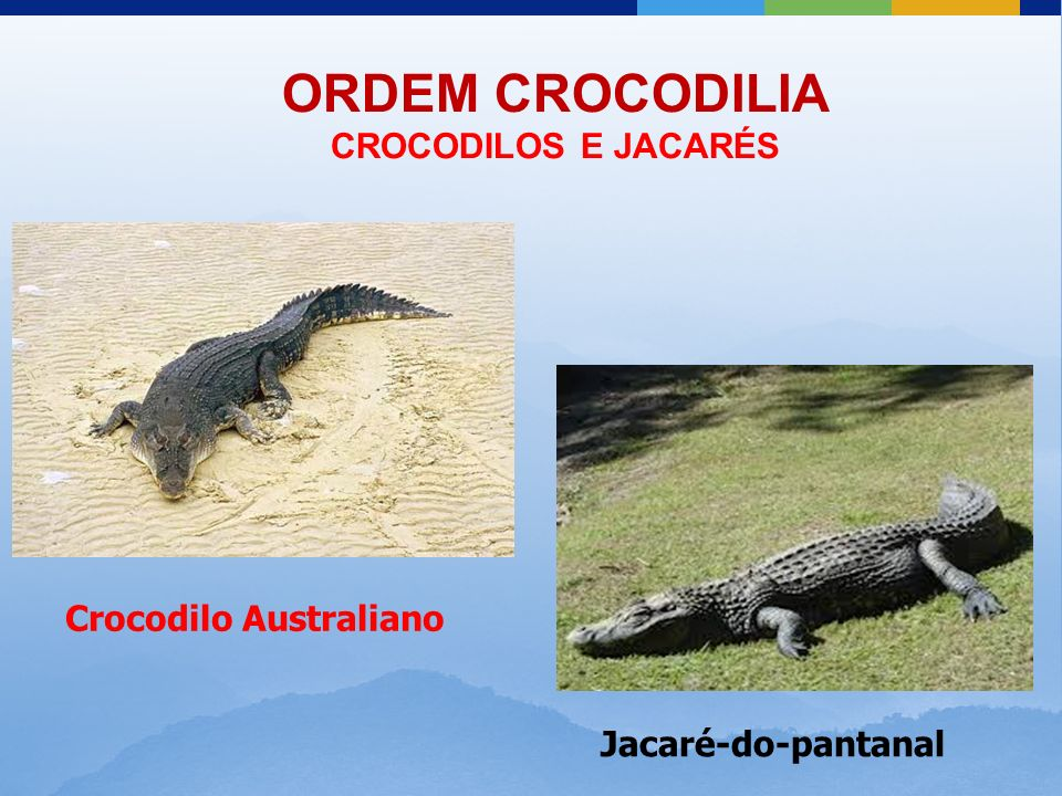 ORDEM CROCODILIA CROCODILOS E JACARÉS Crocodilo Australiano