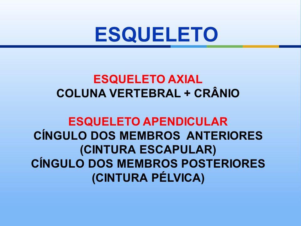ESQUELETO ESQUELETO AXIAL COLUNA VERTEBRAL + CRÂNIO