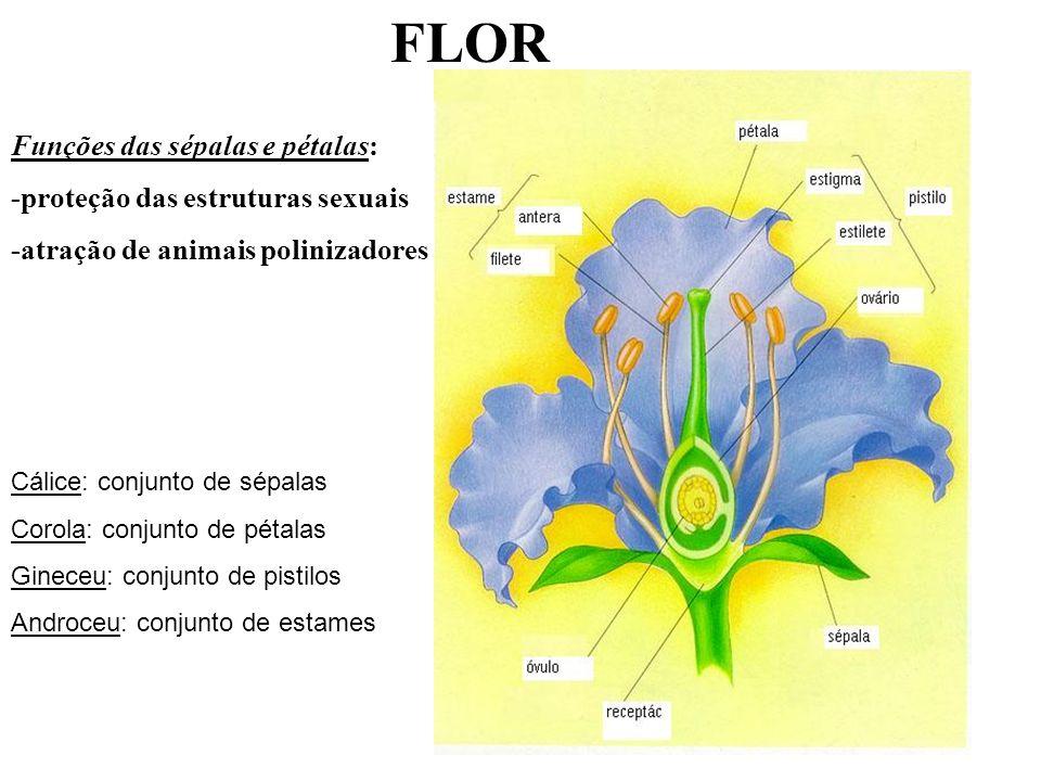 FLOR Funções das sépalas e pétalas: -proteção das estruturas sexuais