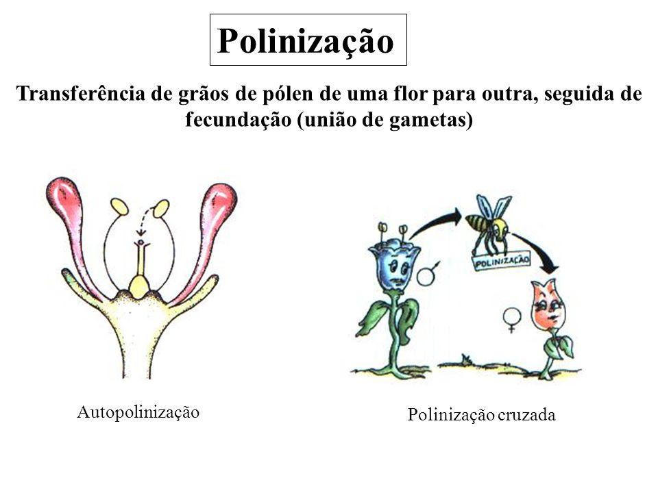 Polinização Transferência de grãos de pólen de uma flor para outra, seguida de fecundação (união de gametas)