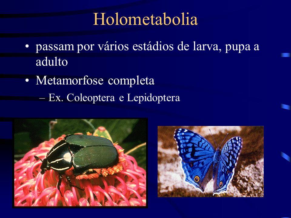 Holometabolia passam por vários estádios de larva, pupa a adulto