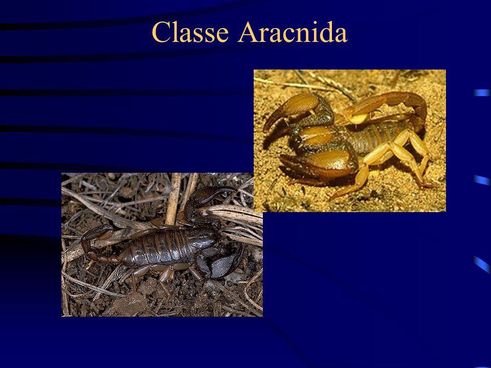 Classe Aracnida