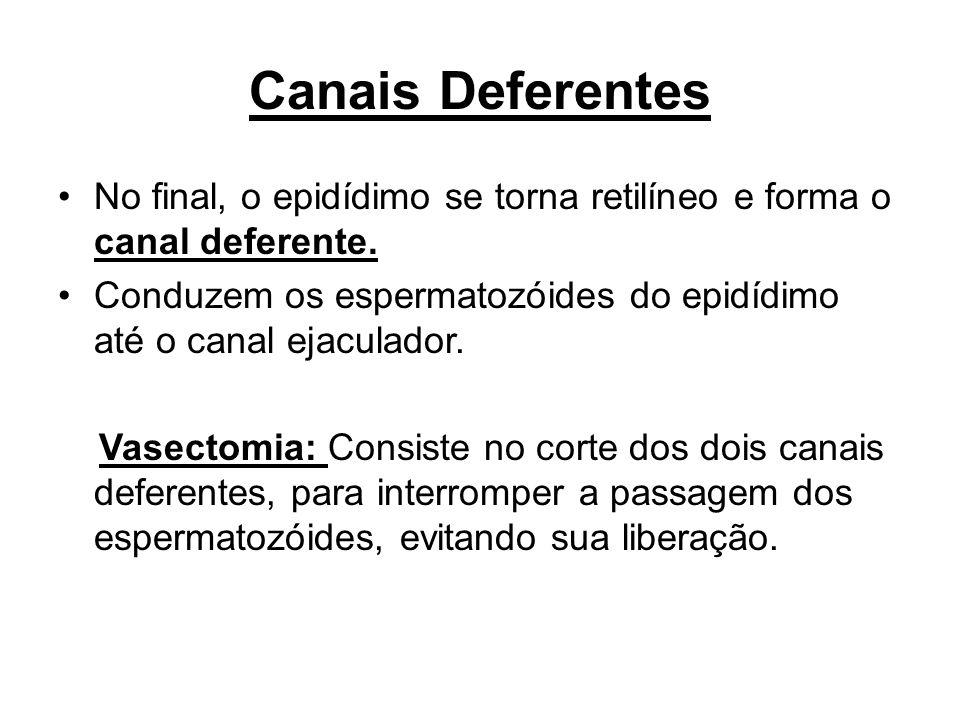 Canais Deferentes No final, o epidídimo se torna retilíneo e forma o canal deferente.