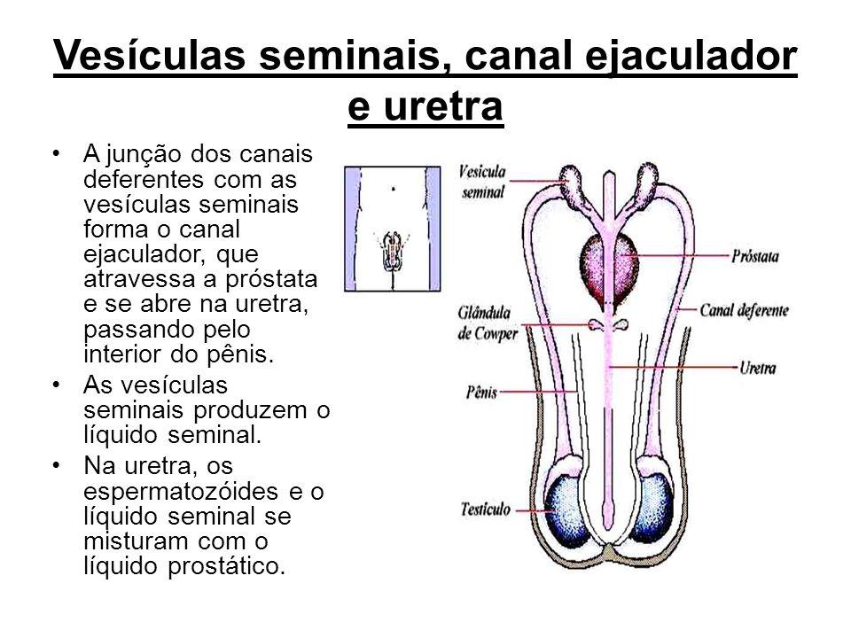 Vesículas seminais, canal ejaculador e uretra