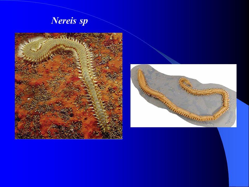 Nereis sp