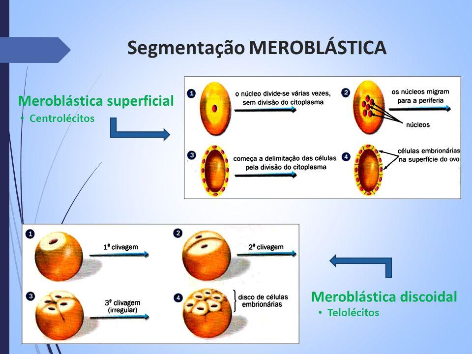 Segmentação MEROBLÁSTICA