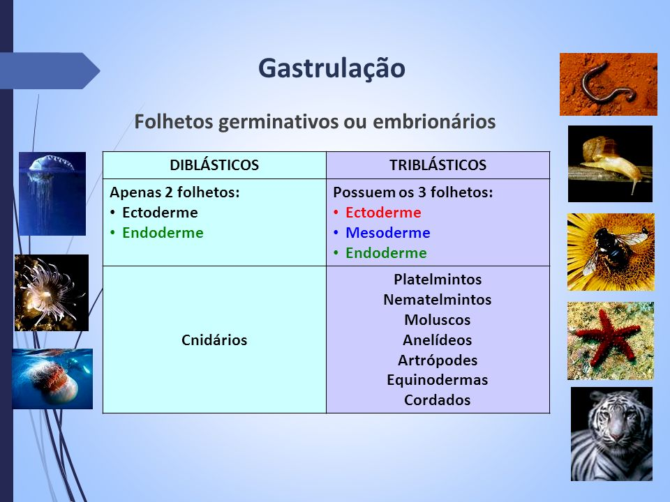 Gastrulação Folhetos germinativos ou embrionários DIBLÁSTICOS