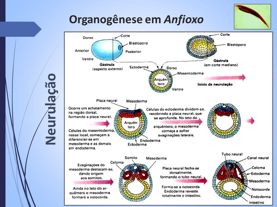 Organogênese em Anfioxo