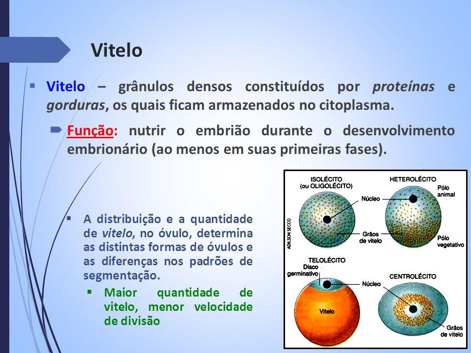 Vitelo Vitelo – grânulos densos constituídos por proteínas e gorduras, os quais ficam armazenados no citoplasma.