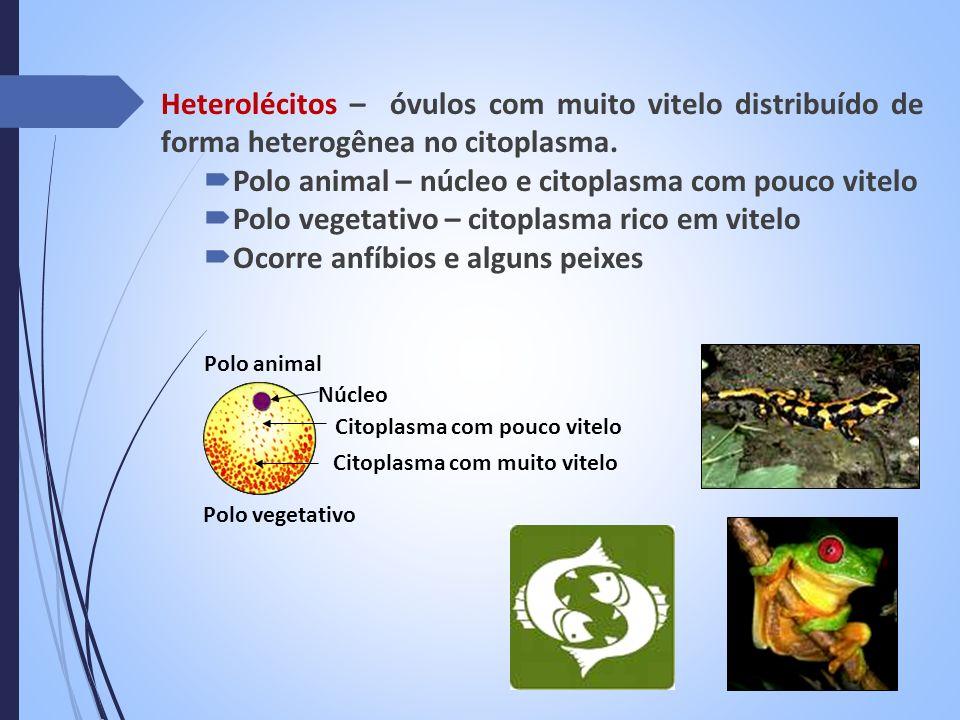 Polo animal – núcleo e citoplasma com pouco vitelo