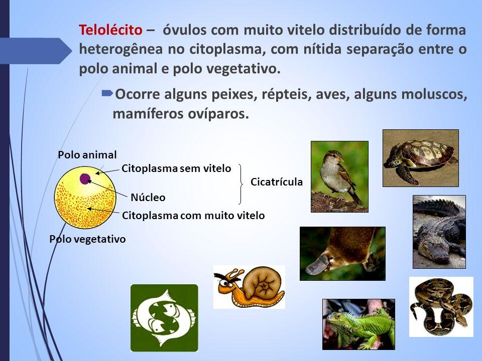 Telolécito – óvulos com muito vitelo distribuído de forma heterogênea no citoplasma, com nítida separação entre o polo animal e polo vegetativo.