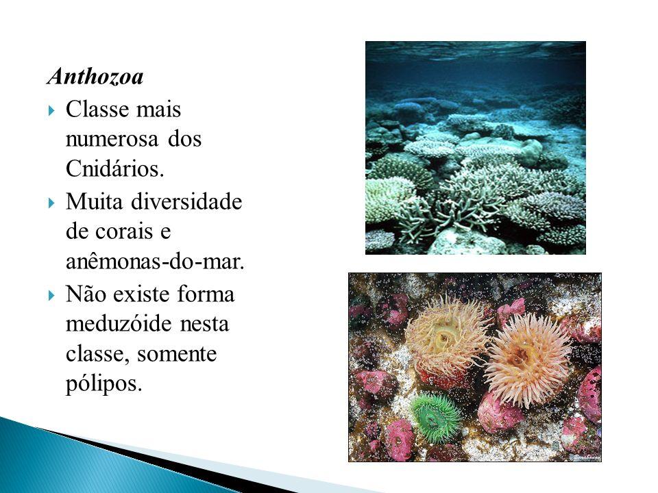 AnthozoaClasse mais numerosa dos Cnidários. Muita diversidade de corais e anêmonas-do-mar.