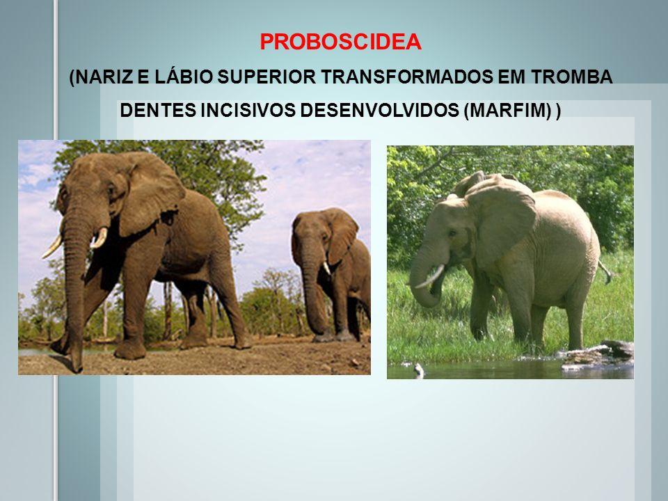 PROBOSCIDEA (NARIZ E LÁBIO SUPERIOR TRANSFORMADOS EM TROMBA