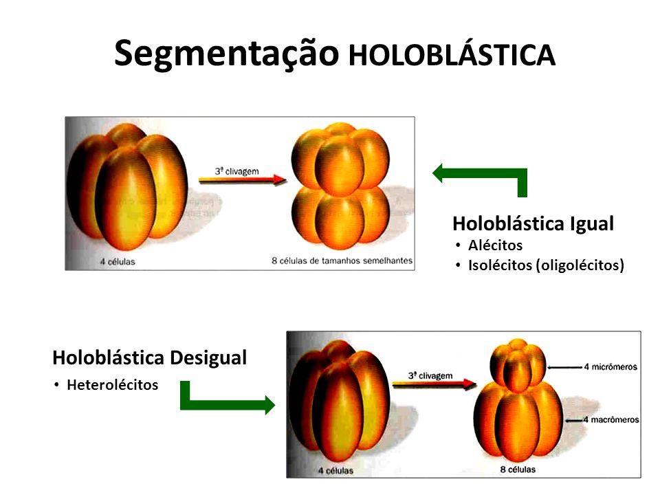 Segmentação HOLOBLÁSTICA