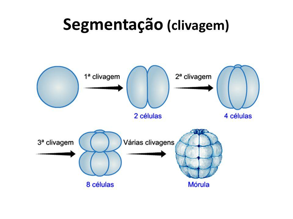 Segmentação (clivagem)