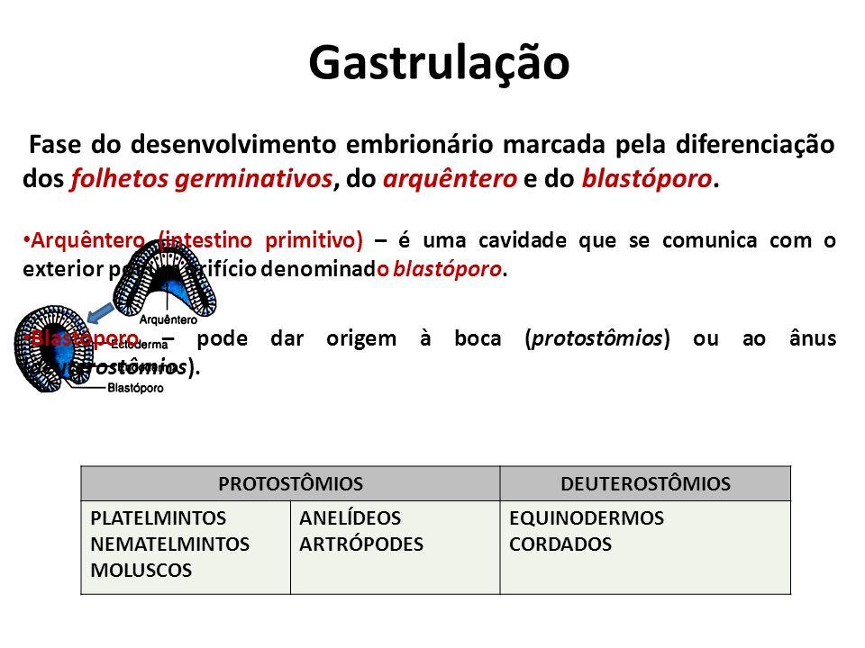 Gastrulação Fase do desenvolvimento embrionário marcada pela diferenciação dos folhetos germinativos, do arquêntero e do blastóporo.