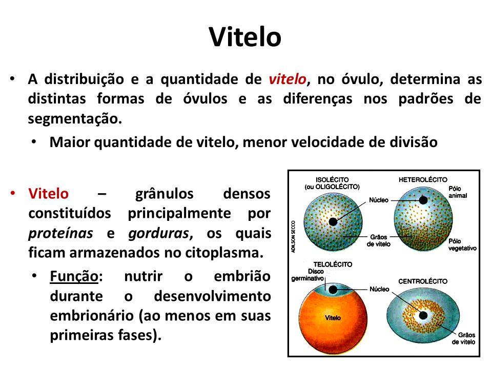 Vitelo A distribuição e a quantidade de vitelo, no óvulo, determina as distintas formas de óvulos e as diferenças nos padrões de segmentação.