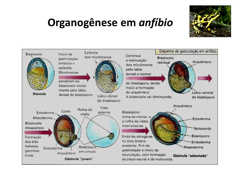 Organogênese em anfíbio