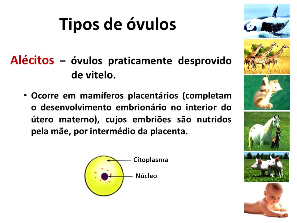 Tipos de óvulos Alécitos – óvulos praticamente desprovido de vitelo.