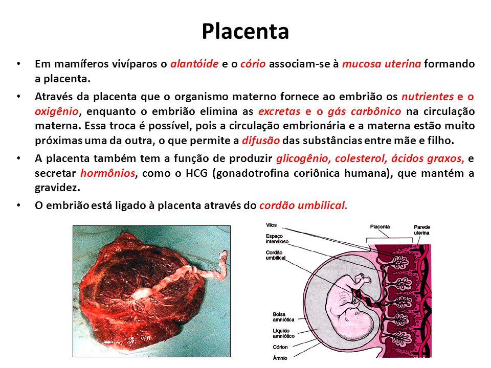 Placenta Em mamíferos vivíparos o alantóide e o cório associam-se à mucosa uterina formando a placenta.