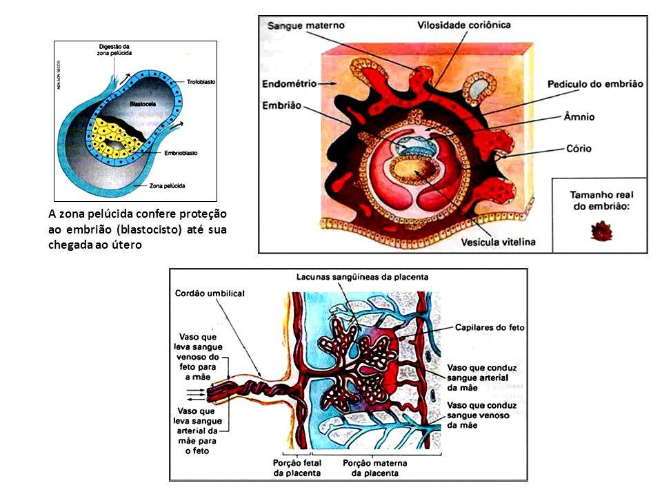 A zona pelúcida confere proteção ao embrião (blastocisto) até sua chegada ao útero